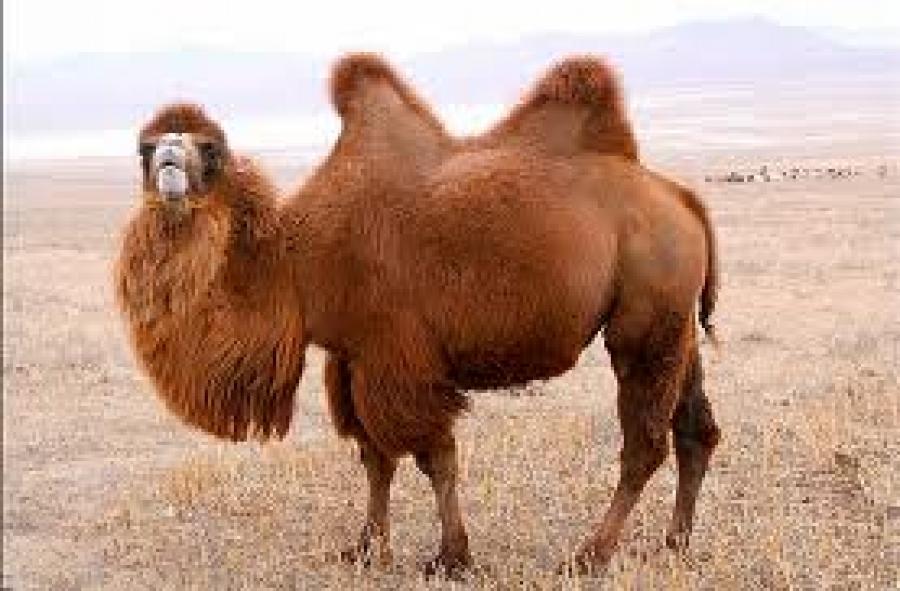 Тэмээ цөөрсөөр байна