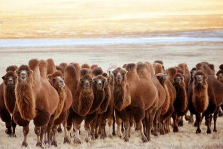 Өмнөговьт  тэмээний өвчнөөр 10 гаруй  тэмээ хорогджээ