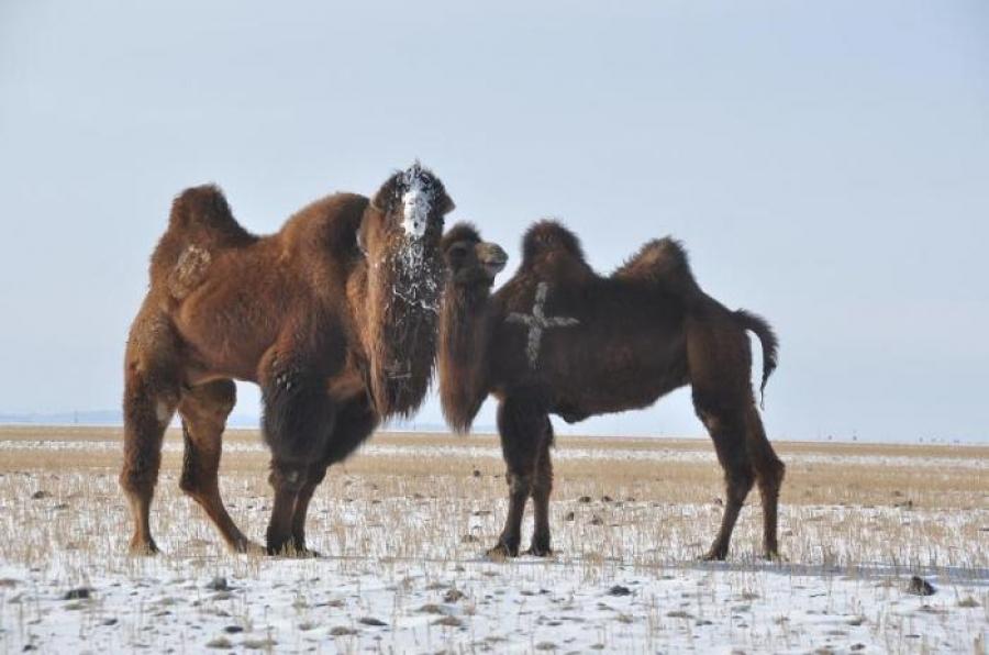 Говь-Алтай, Өвөрхангай, Хөвсгөл аймагт галзуу өвчин гарчээ
