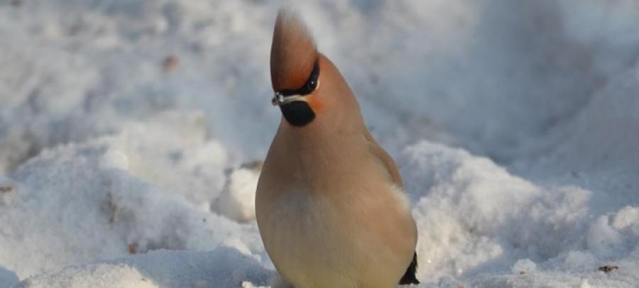 Нийслэлд 31 зүйлийн 9494 бодгаль шувуу өвөлждөг