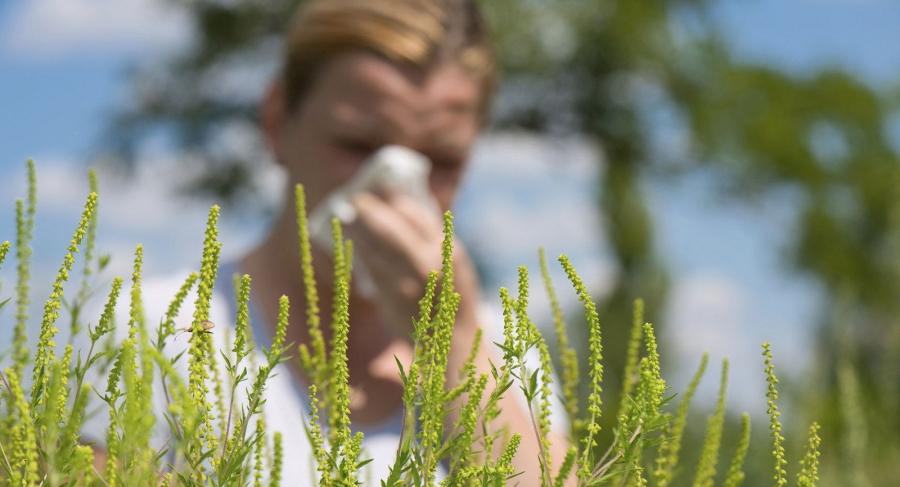 Наймдугаар сар ургамлын тоосны харшлын оргил үе