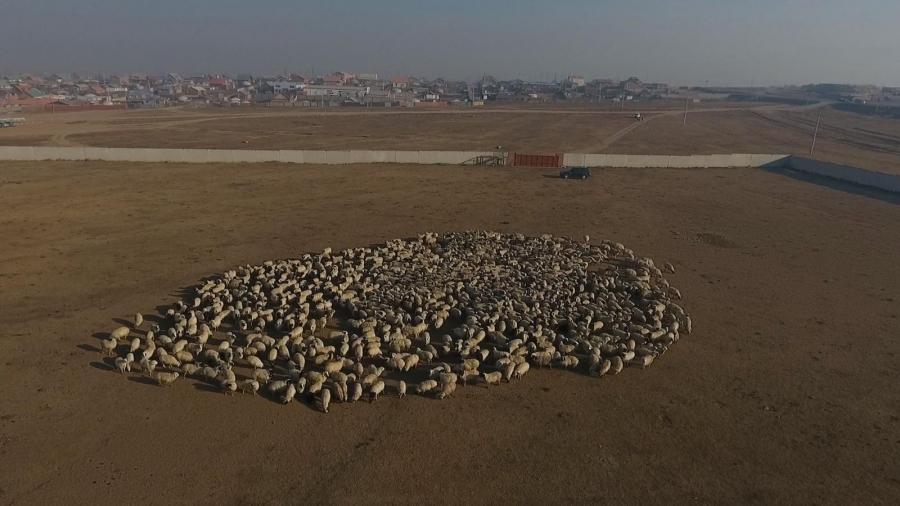 Лаос улсад хүмүүнлэгийн тусламжаар 1000 хонь бэлэглэлээ