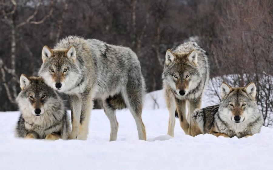 Угалз, чоно, зэрлэг гахай зэрэг амьтдыг тусгай зориулалтаар агнахыг зөвшөөрлөө