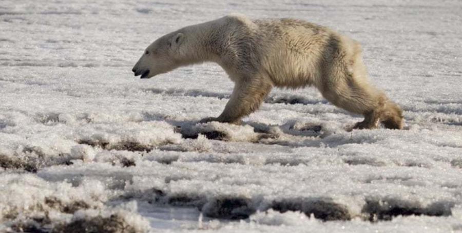 Камчаткын хойгийн иргэд анх удаа умард туйлын цагаан баавгайтай учирчээ
