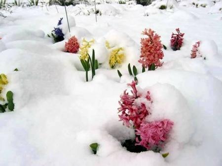 Цасан доорх цэцэгс