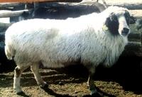 Хонины шинэ үүлдэр батлагдлаа