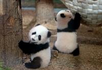 Ихэр панда мэндэлжээ