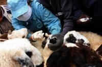 Сэлэнгэ аймгийн Хүдэр суманд хонины цэцэг өвчин гарчээ