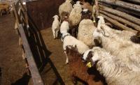 Өвчтэй хонь худалдсан малчинд хуулийн хариуцлага  хүлээлгэнэ