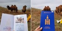 Монгол тэмээнд гадаад паспорт олгосон анхны тохиолдол