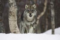 Говь-Алтай аймагт галзуурсан чоно хүүхэд ноцжээ