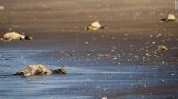 Сангийн далайн хөвөөнд үхсэн шувуудад шинжилгээ хийжээ