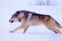 Галзуу чоно хүн ноцжээ
