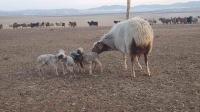 Дөрвөн ихэр хурга төржээ