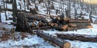 Зөвшөөрөлгүйгээр ойд мод бэлтгэсэн 9 гэмт үйлдлийг илрүүлжээ