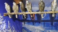 Идлэг шонхор шувууг барьсан үйл ажиллагаанаас зарим зөрчил илэрчээ