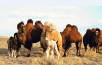 12 жилд багтаж чадаагүй тэмээний тухай