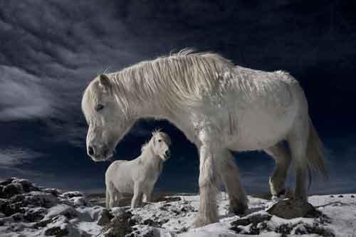 Зэрлэг цагаан морь